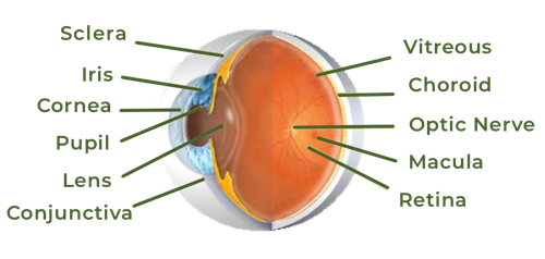 eye anatomy diagram showing eye conditions